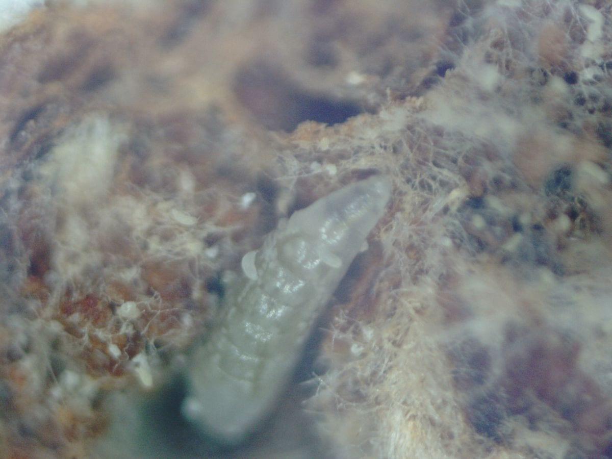 Fot. 10. W powiększeniu - drapieżna larwa w populacji wiekopąkowca leszczynowego