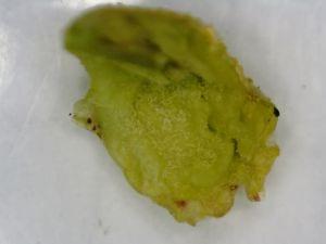 Fot. 6. Pąk porzeczki czarnej zasiedlony przez wielkopąkowca porzeczkowego