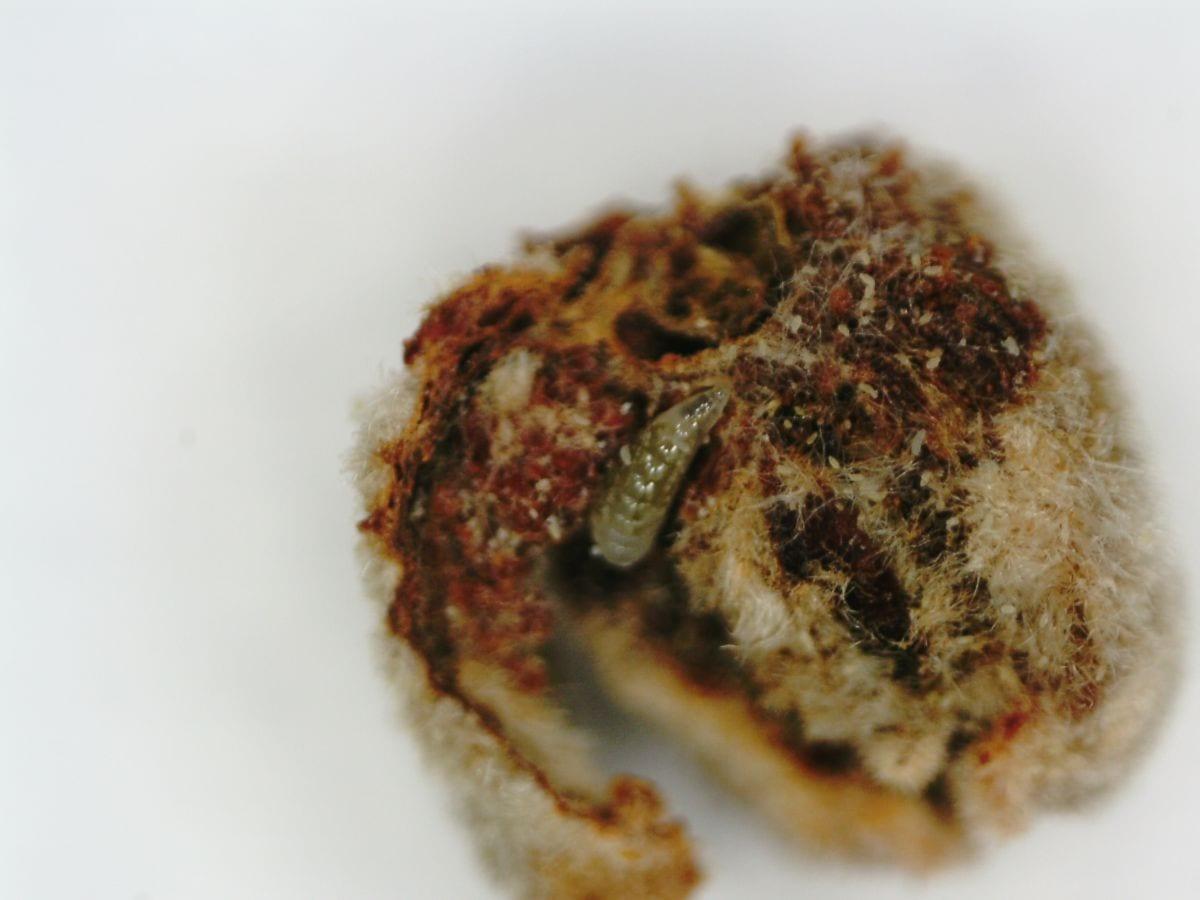 Fot. 9. Drapieżna larwa w populacji wiekopąkowca leszczynowego