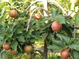 basf jabłka