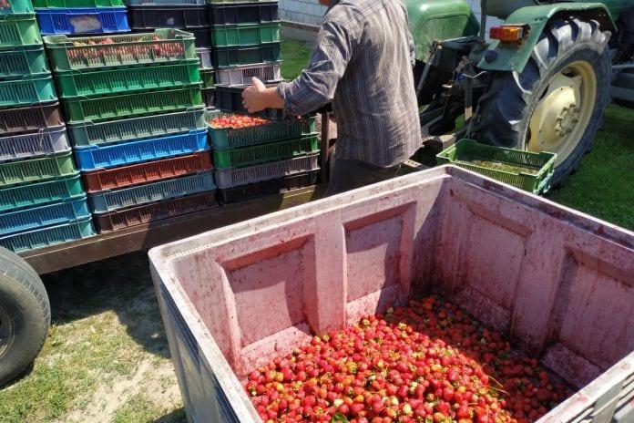 brak pracowników do zbiorów truskawek