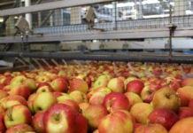 Drogie jabłka to mniej przemysłu na przetwórniach