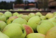 Ceny jabłek deserowych w grupach producenckich/ 8.04.2020