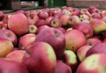 gloster ceny jabłek