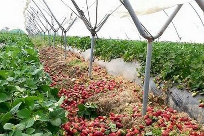 nie ma pracowników do zbiorów truskawek