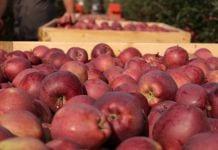 Jedno jabłko dziennie trzyma lekarza z dala ode mnie!