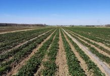 Kto zerwie truskawki w gminie Czerwińsk nad Wisłą?