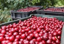 Rosną ceny wiśni na mrożenie i porzeczki czarnej