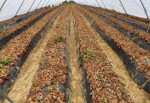 Hiszpania: Pierwsze plantacje truskawek są porzucane