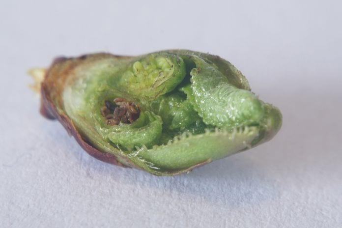 przemrożone pąki na wczesnych odmianach wiśni