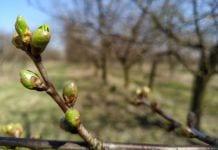 Nie wszyscy mogli ubezpieczyć swoje uprawy od przymrozków wiosennych