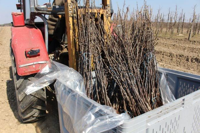 sadzenie drzewek jabłoni 2020
