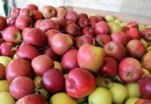 Mniej jabłek również w przetwórniach