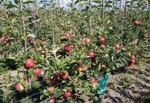 sady w nowej zelandii