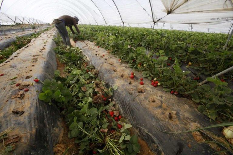 Załamanie cen w Hiszpanii – producenci truskawek niszczą plantacje