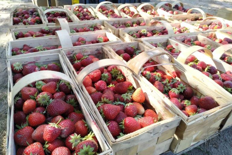 Kiedy rozpocznie się handel truskawkami na giełdzie Goławin?