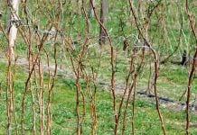 Wiosenne nawożenie maliny