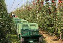 zbiory jabłek w nowej zelandii