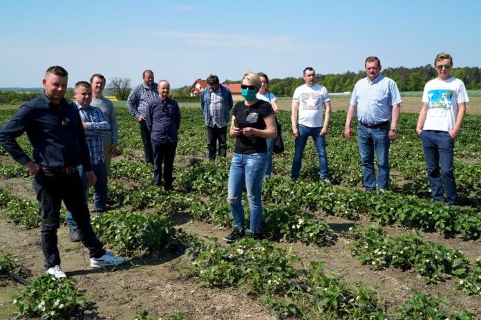 brak pracowników do zbioru truskawek