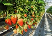 Jak sprzedają się truskawki w Europie?