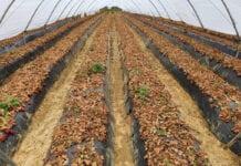 ceny truskawek w hiszpanii