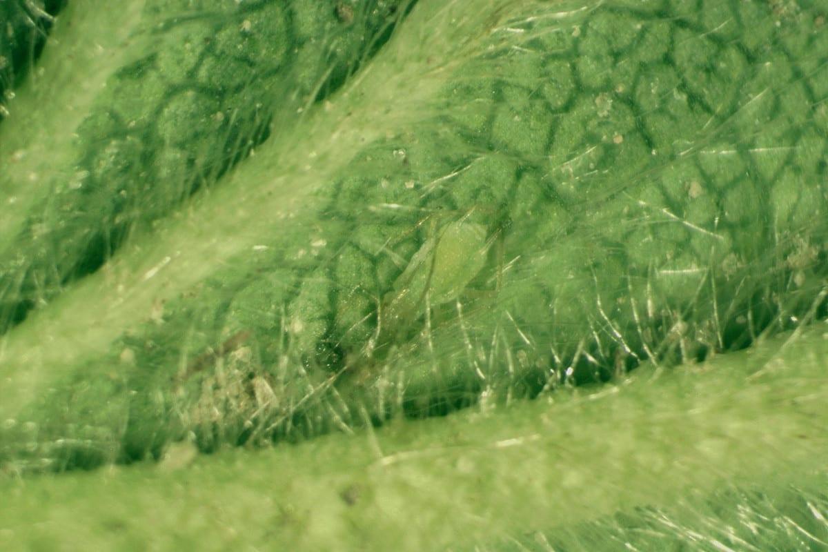 Fot. 7. Mszyca na dolnej stronie liścia w gruncie otwartym na odmianach średnio późnych (9.05.2020).