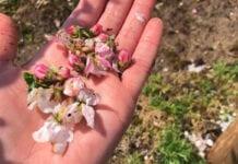 Grad w lubelskim: Uszkodzone kwiaty w sadach