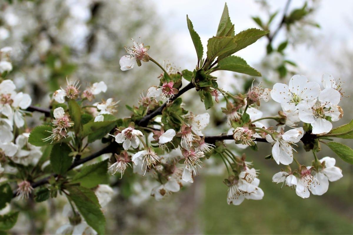 choroby grzybowe na wiśniach