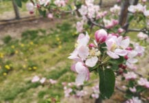 Szara pleśń – zagrożenie dla jabłoni, grusz i innych drzew owocowych