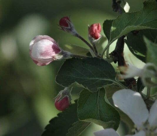 Zabiegi w sadzie w okresie okołokwitnieniowym (VIDEO)