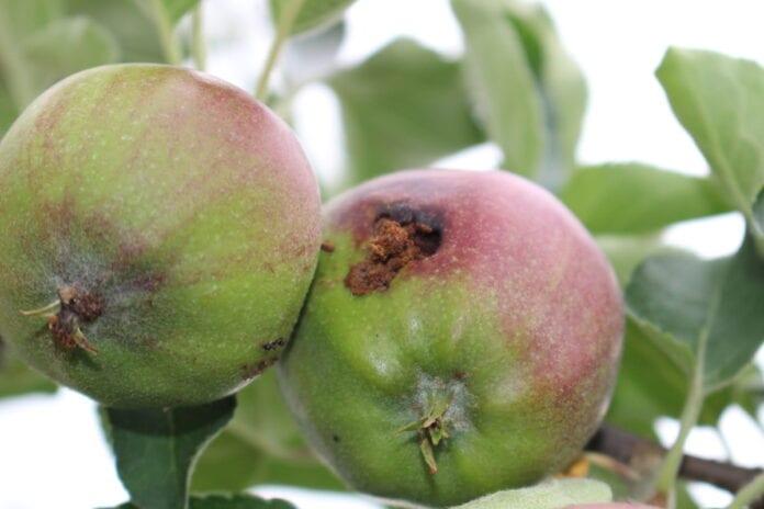 owocówka jabłkóweczka 2020