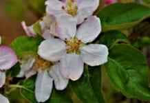 Komunikat sadowniczy Bayer – jabłonie i grusze, 04.05.2020