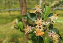 Komunikat sadowniczy Bayer – jabłonie [parch i mączniak], 21.05.2020