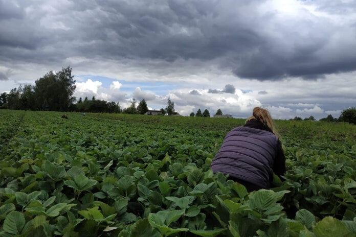 kradzież na plantacji truskawek