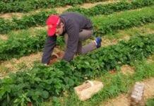 Rolnicy pokryją koszty testów na COVID-19 u swoich pracowników?