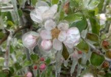 przymrozki zimni ogrodnicy