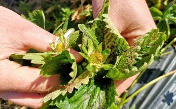 regeneracja plantacji truskawek po przymrozkach