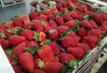 Wraz ze wzrostem popytu na truskawki rośnie import