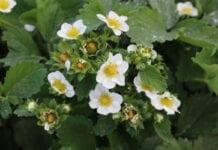 truskawki w fazie kwitnienia