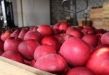 Ile jabłek jest jeszcze w chłodniach?