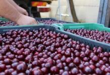 Problemy z dostawami wiśni na zakładach