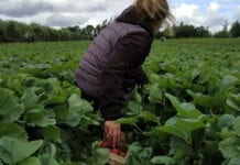Zbiór truskawek 2020: Okres kwarantanny dla pracowników trzeba skrócić