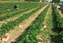 zbiory truskawek