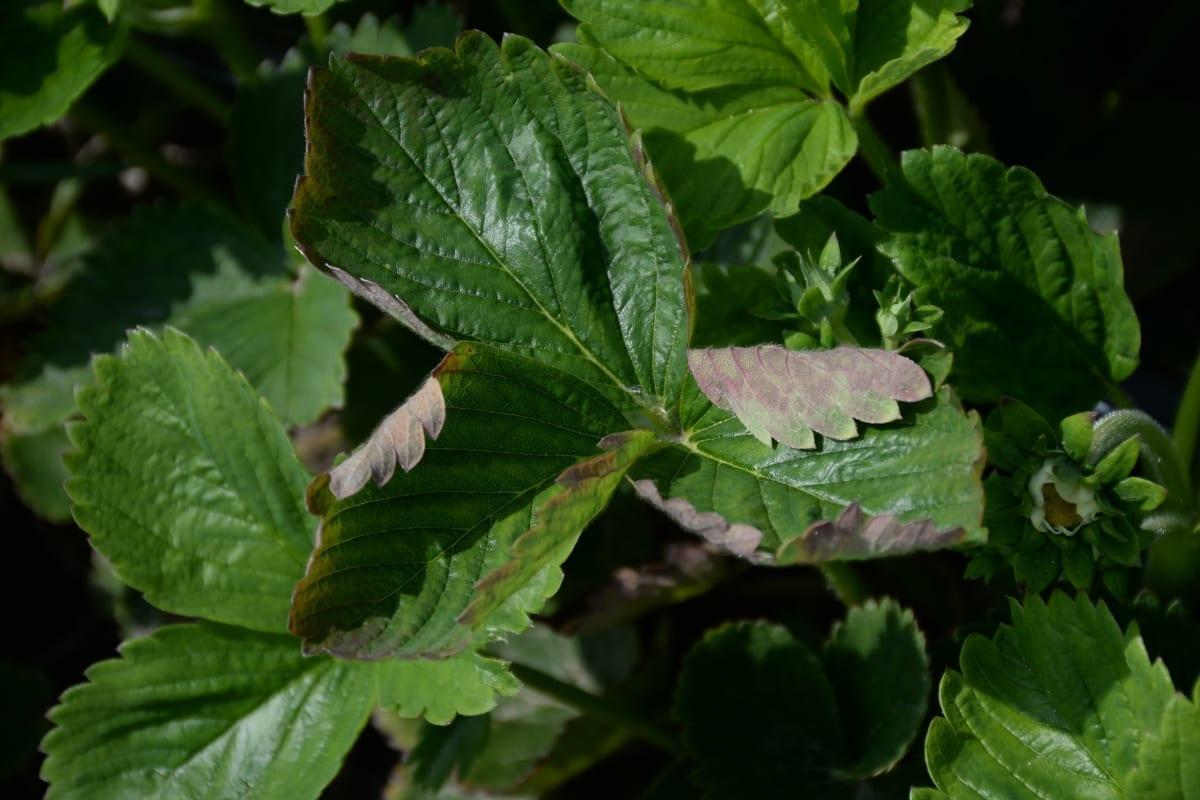 Fot. 2. Objawy mączniaka truskawki na wrażliwych odmianach 12.06.2020