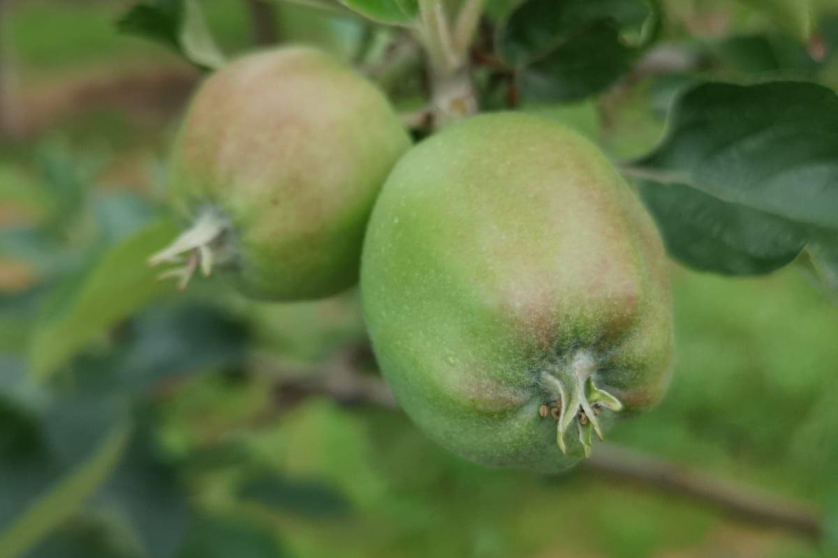 zawiązki jabłoni