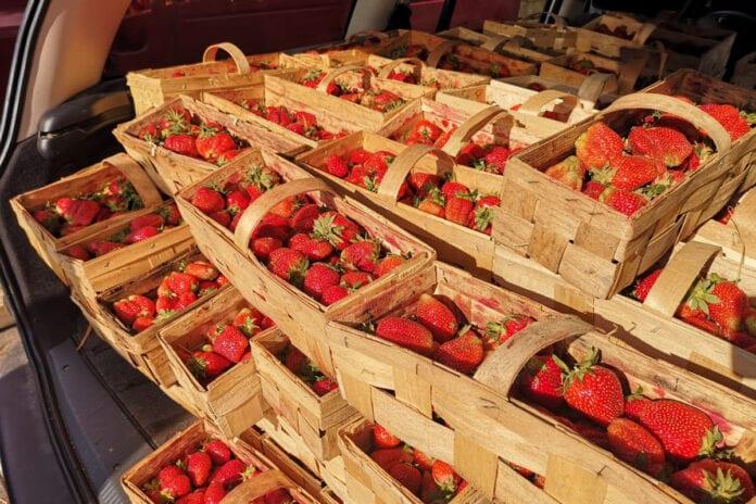 bronisze ceny truskawek