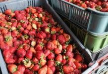 Aktualne ceny truskawek w hurcie i na skupach