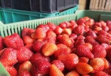 17 czerwca: Ceny truskawek w skupie