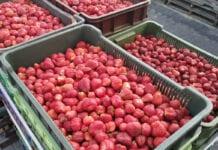 truskawki przemysłowe ceny