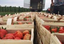 8 czerwca 2020: Spadek cen truskawek